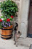 tabby, cat, Austria, Europe