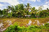 Rice Fields; Bilar, Bohol, Central Visayas, Philippines