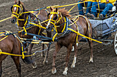 Cowboys riding in a carriage behind a team of horses at the Calgary Stampede; Calgary, Alberta, Canada