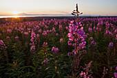 Field Of Fireweed (Chamaenerion Angustifolium) At Sunset; Alaska, United States Of America