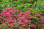 Azaleas And Rhododendron (Ericaceae), New York Botanical Garden; Bronx, New York, United States Of America