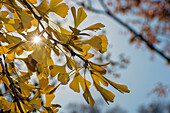 Sun Shining Through Autumn-Colored Ginkgo Biloba Leaves (Ginkgoaceae), Central Park; New York City, New York, United States Of America