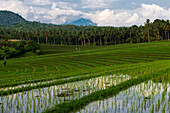 The Rice Terraces Of Northwest Bali; Bali, Indonesia