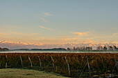 Sunrise Illuminates The Snow-Capped Mountains In The Distance While Fog Dissipates Over A Vineyard; Tunuyan, Mendoza, Argentina