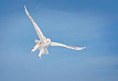 Snowy Owl (Bubo Scandiacus) In Flight; Saulte Saint Marie, Ontario, Canada