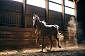 A Horse Backlit By The Sunight Galloping In A Stable; Canada