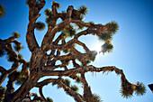 Joshua Tree (Yucca Brevifolia) Against A Blue Sky, Joshua Tree National Park; California, United States Of America