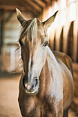 Portrait Of A Blond Horse In A Barn; Canada