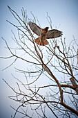 A Red Hawk Flies From A Tree Against A Clear Sky, Tommy Thompson Park; Toronto, Ontario, Canada