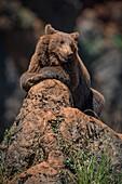 Brown Bear (Ursus Arctos) Lying Relaxed On Rocky Outcrop; Cabarceno, Cantabria, Spain