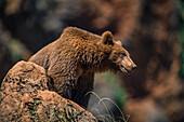 Brown Bear (Ursus Arctos) On Rock; Cabarceno, Cantabria, Spain