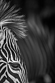 Close-Up Of Grevy's Zebra (Equus Grevyi) Eye And Mane; Cabarceno, Cantabria, Spain
