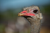 Close-Up Of Ostrich (Struthio Camelus) Against Blurred Background; Cabarceno, Cantabria, Spain