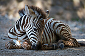 Grevy's Zebra Foal (Equus Grevyi) Lying In Dappled Sunshine; Cabarceno, Cantabria, Spain
