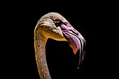 Close-Up Of Chilean Flamingo (Phoenicopterus Chilensis) Head Against A Black Background; Iguazu Falls, Parana, Brazil