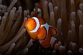 Clownfish (Amphiprioninae) In Anenome; Anda, Bohol, Central Visayas, Philippines