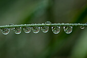 Rain Drops Cling To A Grass Stem; Astoria, Oregon, United States Of America