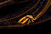 Crinoid Squat Lobster (Allogalathea Elegans); Moalboal, Cebu, Central Visayas, Philippines