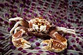 Spotted Porcelain Crab (Porcellana Sayana) On Top Of Anenome; Moalboal, Cebu, Central Visayas, Philippines