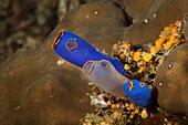 Bright Blue Coral; Moalboal, Cebu, Central Visayas, Philippines