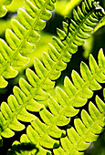 Close-Up Of Fern Leaves Backlit; Calgary, Alberta, Canada