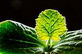 Close-Up Of A Squash Seedling Backlit Against A Black Background; Calgary, Alberta, Canada