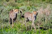 Two Young Cheetahs (Acinonyx Jubatus), Serengeti; Tanzania
