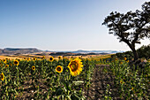 Common Sunflower (Helianthus Annuus, Asteraceae) Crop With Rolling Hills In The Distance; Campillos, Malaga, Andalucia, Spain