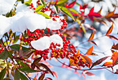 Red Berries On An Autumn Coloured Tree With Clumps Of Snow On The Branches; Walnut Grove, British Columbia, Canada