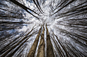 Looking Up Through The Trees To The Sky; Strathroy, Ontario, Canada