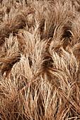 Close-up of brown meadow grasses in autumn, near Sleepy Cove, Shubenacadie Grand Lake; Nova Scotia, Canada