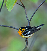 Blackburnian Warbler (Dendroica fusca) perched on a tree branch; Redbridge, Ontario, Canada