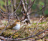 Veery (Catharus fuscescens), a thrush species of bird, standing on the ground with snowflakes falling; Ontario, Canada