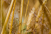 Close-up of golden grasses wet with dew in summer; Astoria, Oregon, United States of America