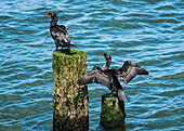 Double-crested Cormorants (Phalacrocorax auritus) perched on pilings in the Columbia River; Astoria, Oregon, United States of America