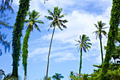 Palm trees with foliage growing up the trunks against a blue sky with cloud; Kapaa, Kauai, Hawaii, United States of America