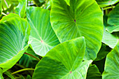 Close-up of the broad, green leaves of a taro plant; Hanalei, Kauai, Hawaii, United States of America