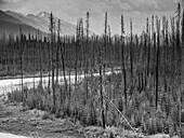 Black and white image of leafless, dead trees and new growth of a forest emerging in the mountains; Edgewater, British Columbia, Canada