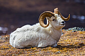 A Dall Sheep (ovis dalli) ram rests on a mountainside in Denali National Park near the Savage Alpine Trail; Alaska, United States of America