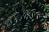 Dark green leaves on the branch of an evergreen plant in a garden; Vancouver, British Columbia, Canada