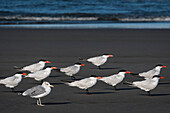 A flock of Caspian Terns (Hydroprogne caspia) and a seagull relaxes on the beach; Ilwaco, Washington, United States of America