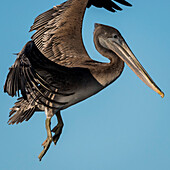 Close-up of a young Brown Pelican (Pelecanus occidentalis) flying in the blue sky; Ilwaco, Washington, United States of America