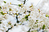 A close up of spring cherry blossoms and buds just starting to open on a single branch in spring sunlight; Vancouver, British Columbia, Canada
