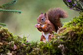 Red Squirrel (Sciurus vulgaris) eating a nut from it's hands while standing on a moss covered rock; Dumfries and Galloway, Scotland