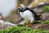 A Puffin (Fratercula) with Sand Eels in it's mouth; Farne Islands, Northumberland, England