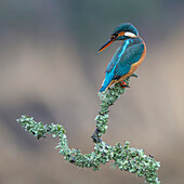 Female Kingfisher (Alcedinidae) perched on the branch of a tree covered in green foliage; Dumfries and Galloway, Scotland
