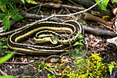 Close-up of a garter snake (Thamnophis) on the ground; Ontario, Canada
