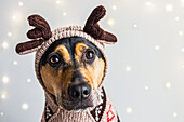 A dog wearing a reindeer sweater and hoodie with antlers for a Christmas portrait