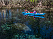 A mother and daughter kayak over a manatee (Trichecus manatus) in a freshwater spring in Florida; Chiefland, Florida, United States of America