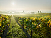 vineyards, Freigut Heurige, Gumpoldskirchen, Thermal Region, Lower Austria, Austria